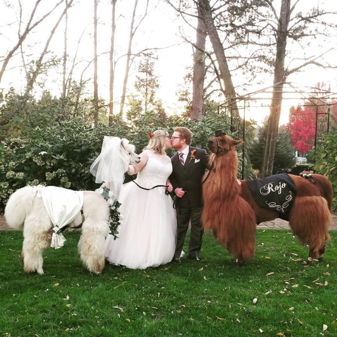Therapy Lama and alpaca for your party