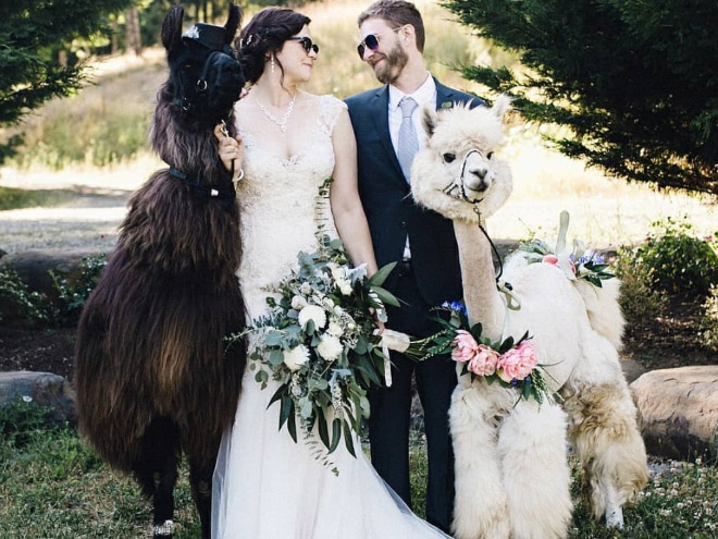 Therapy Lama and alpaca at your wedding